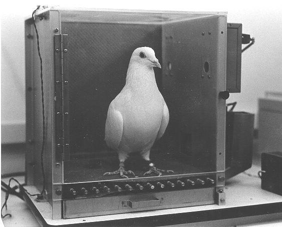 Pigeon-in-Skinners-box