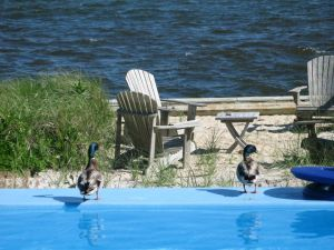 Water Mother Ducks